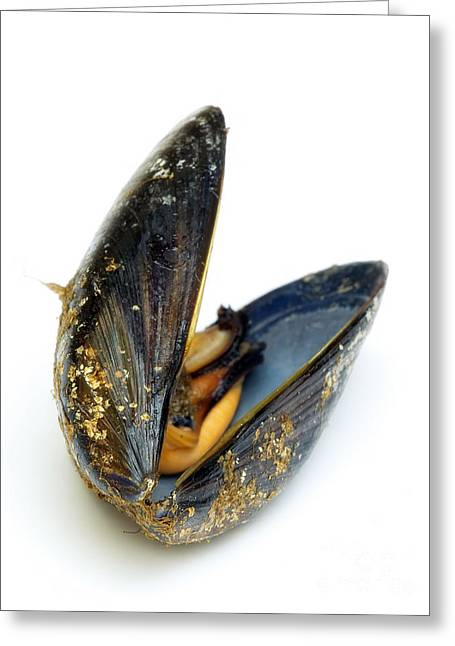 Moules Greeting Cards - Mussel Greeting Card by Sinisa Botas
