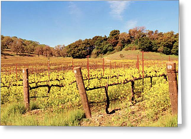 Vinifera Greeting Cards - Mustard Flowers In A Field, Napa Greeting Card by Panoramic Images