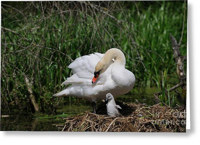 Muted Greeting Cards - Mute Swan And Cygnet Greeting Card by David & Micha Sheldon