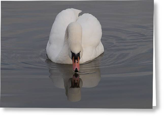 Mute Swan Greeting Card by Robert Carr