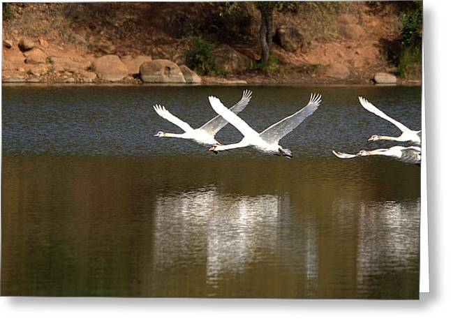 Swans... Greeting Cards - Mute Swans In Flight Greeting Card by Roy Williams