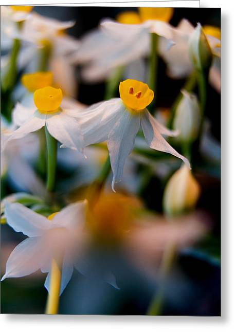 Sparse Greeting Cards - Narcissus tazetta Greeting Card by Stylianos Kleanthous
