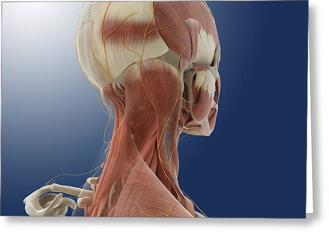 Occipital Greeting Cards - Neck muscles and nerves, artwork Greeting Card by Science Photo Library