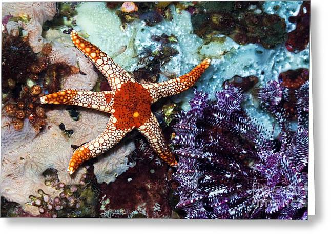 Star Fish Greeting Cards - Necklace Starfish And Crinoid Greeting Card by Georgette Douwma