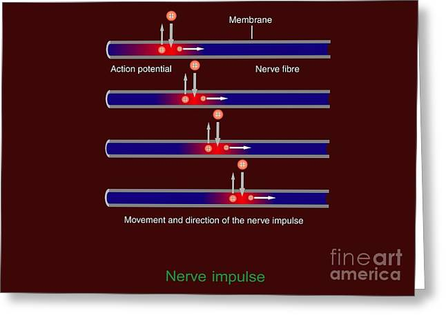 Human Potential Greeting Cards - Nerve Impulse Propagation, Diagram Greeting Card by Francis Leroy, Biocosmos