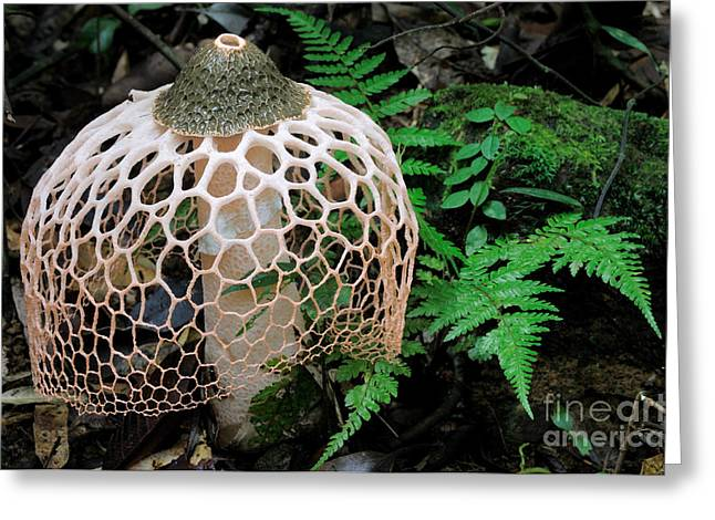 Phallus Greeting Cards - Netted Stinkhorn Fungus Greeting Card by Fletcher & Baylis