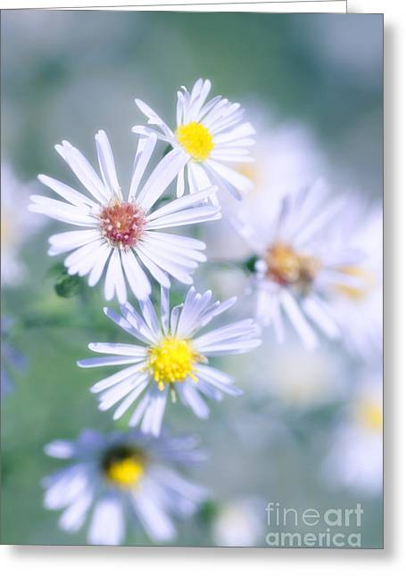 Asters Greeting Cards - New England Aster Aster Novae-angliae Greeting Card by Maria Mosolova