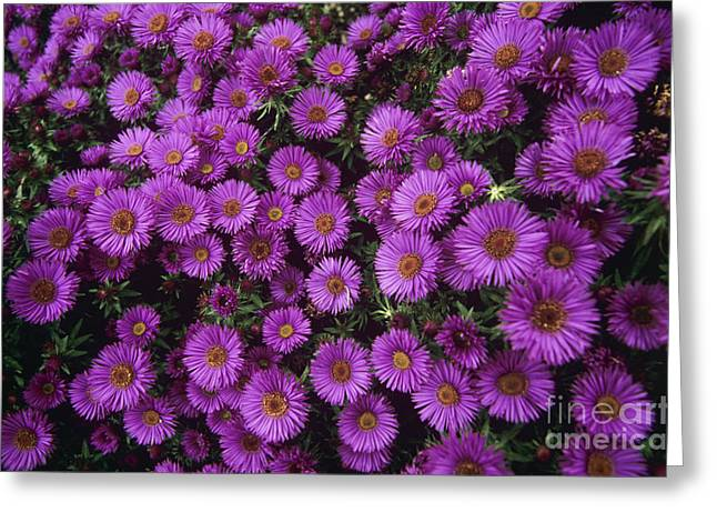Aster Greeting Cards - New England Aster Purple Dome Greeting Card by Adrian Thomas