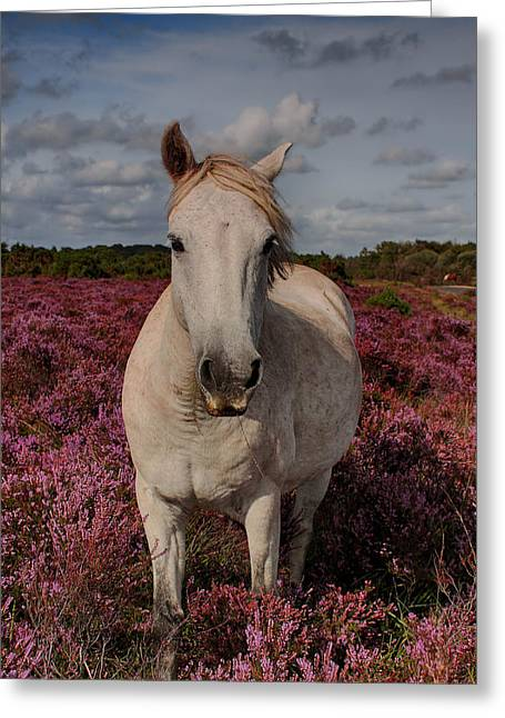 New Britain Greeting Cards - New Forest Pony Greeting Card by Phil Clements