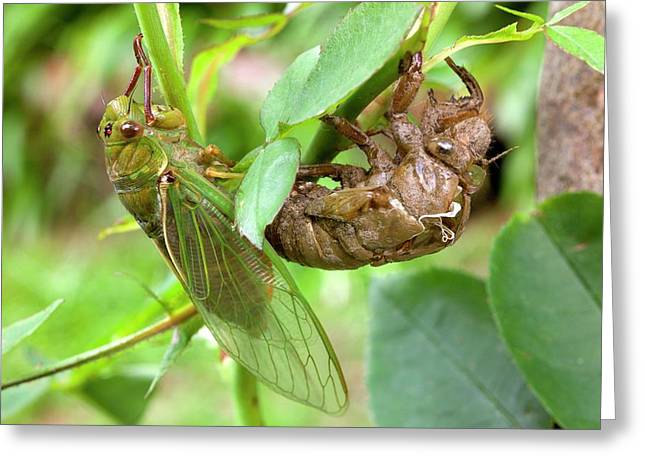 Newly Emerged Green Grocer Cicada Greeting Card by Dr Jeremy Burgess