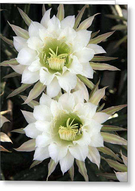 Recently Sold -  - Stigma Greeting Cards - Night Blooming Cereus Greeting Card by Gladys Turner Scheytt