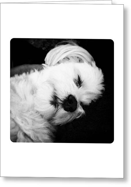 Sleeping Maltese Greeting Cards - Nighty Night Greeting Card by Natasha Marco