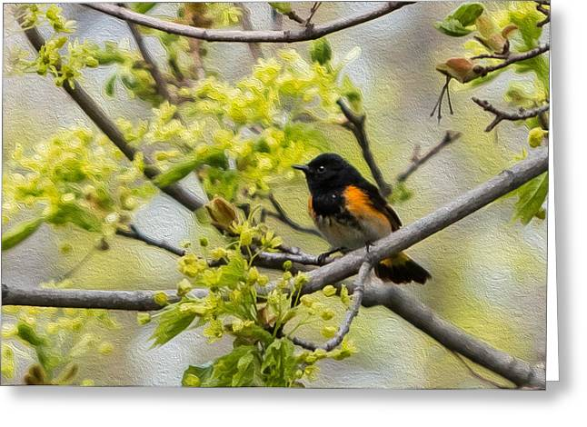 American Redstart Greeting Cards - American Redstart 3 of 3 Greeting Card by Patti Deters
