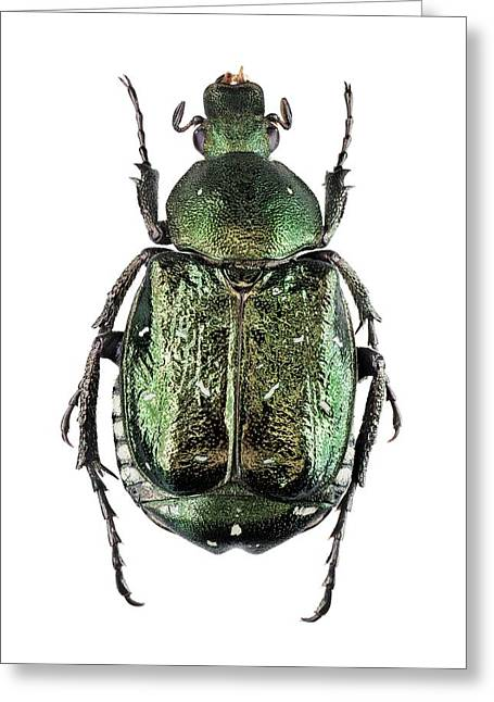 Noble Chafer Greeting Card by F. Martinez Clavel