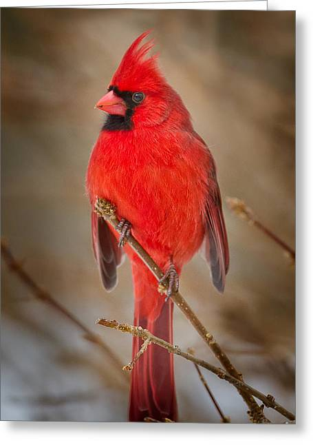 Male Northern Cardinal Greeting Cards - Northern Cardinal Greeting Card by Bill  Wakeley