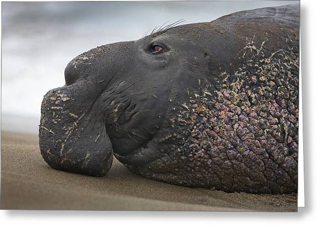 Elephant Seals Greeting Cards - Northern Elephant Seal Bull California Greeting Card by Tim Fitzharris