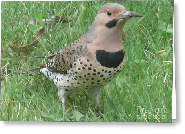 Maine Spring Greeting Cards - Northern Flicker Greeting Card by Brenda Ketch