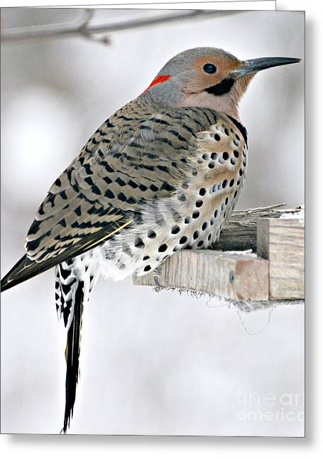 Feeder Framed Prints Greeting Cards - Northern Flicker Greeting Card by Lila Fisher-Wenzel