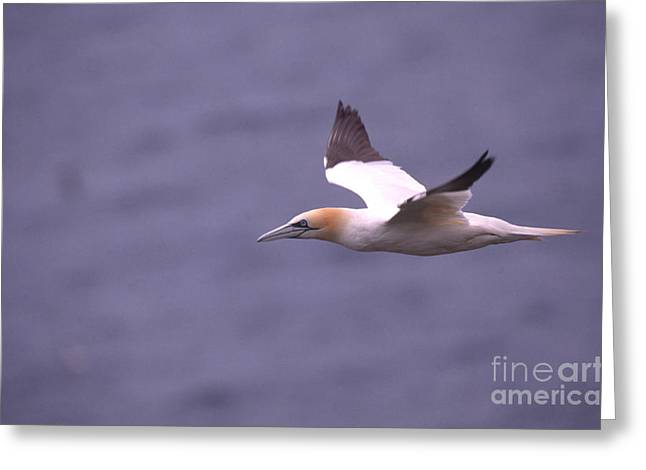 Northern Gannet Greeting Cards - Northern Gannet Greeting Card by Art Wolfe