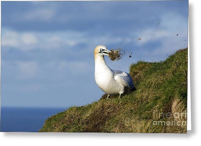 Gannet Greeting Cards - Northern Gannet Greeting Card by Duncan Shaw