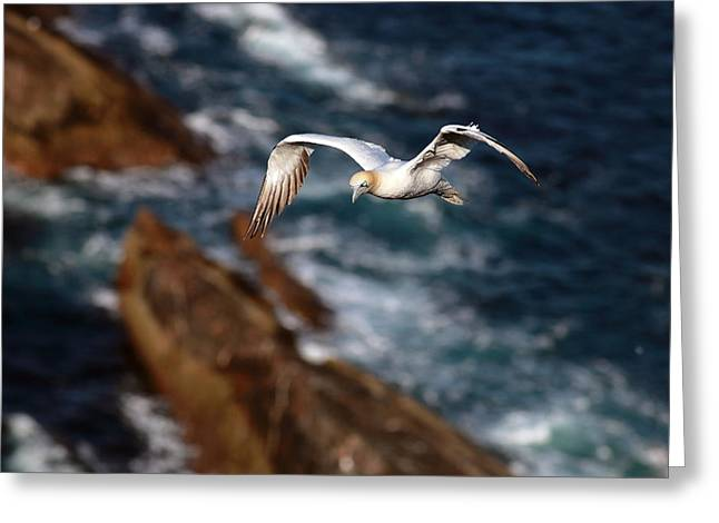 North Sea Greeting Cards - Northern Gannet Greeting Card by Grant Glendinning