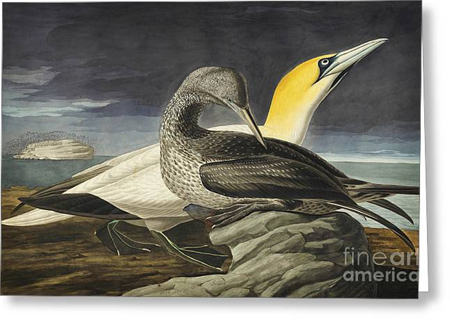 1833 Greeting Cards - Northern Gannet Greeting Card by John James Audubon