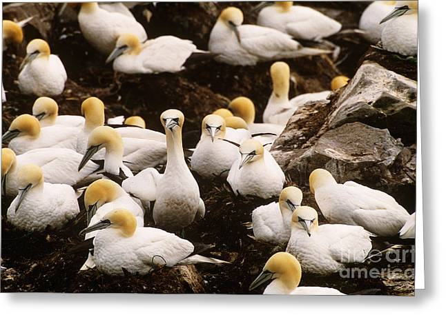 Northern Gannet Greeting Cards - Northern Gannets Greeting Card by Art Wolfe