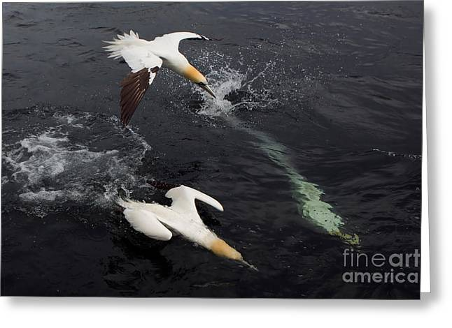 Morus Bassanus Greeting Cards - Northern Gannets Fishing Greeting Card by Thomas Hanahoe