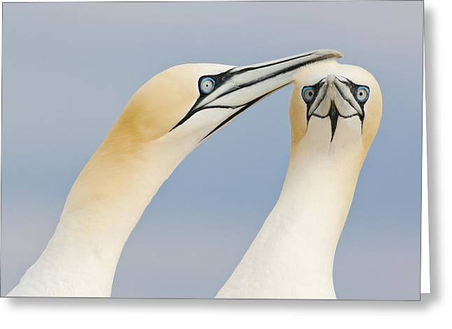 Northern Gannets Greeting Saltee Island Greeting Card by Bart Breet