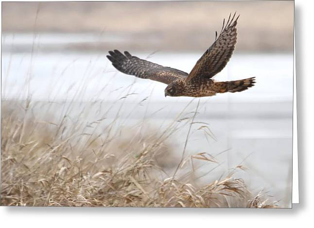 Wildlife Refuge. Greeting Cards - Northern Harrier Greeting Card by Angie Vogel