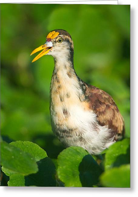 Young Birds Greeting Cards - Northern Jacana Jacana Spinosa Chick Greeting Card by Panoramic Images