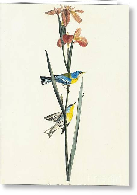 Heron Drawings Greeting Cards - Northern Parula  Greeting Card by Celestial Images