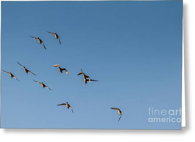 Haybales Greeting Cards - Northern Pintails  Greeting Card by Robert Bales