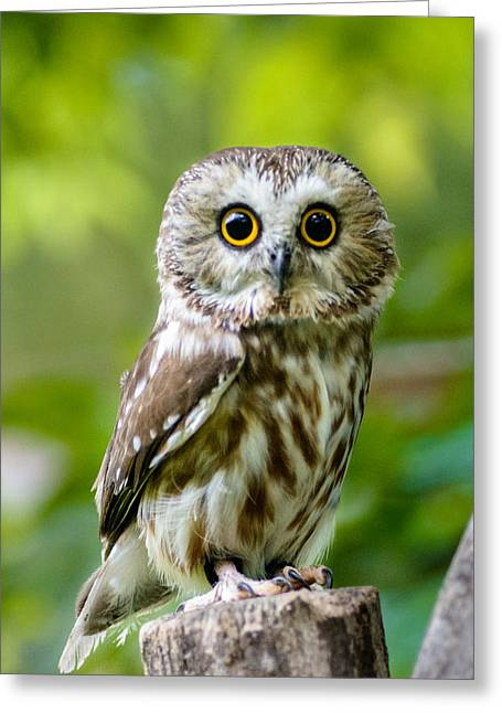 Saw Greeting Cards - Northern Saw-Whet Owl Greeting Card by Randy Scherkenbach