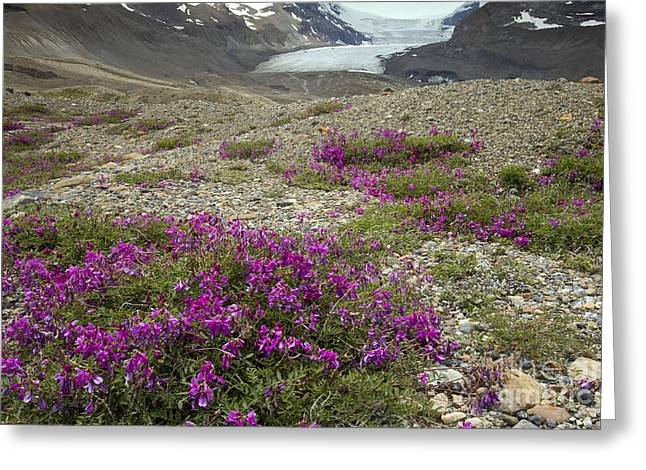 Vetch Greeting Cards - Northern Sweet Vetch Hedysarum Boreale Greeting Card by Bob Gibbons