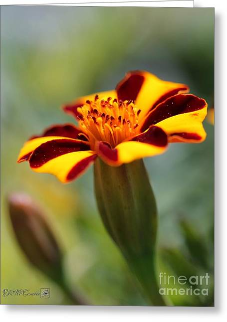 Mahogany Red Greeting Cards - Novelty French Marigold named Mr. Majestic Greeting Card by J McCombie