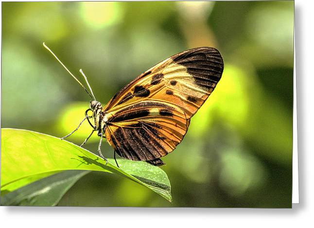 Orange And Brown Wings Greeting Cards - Numata Longwing Butterfly 3 Greeting Card by Becca Buecher