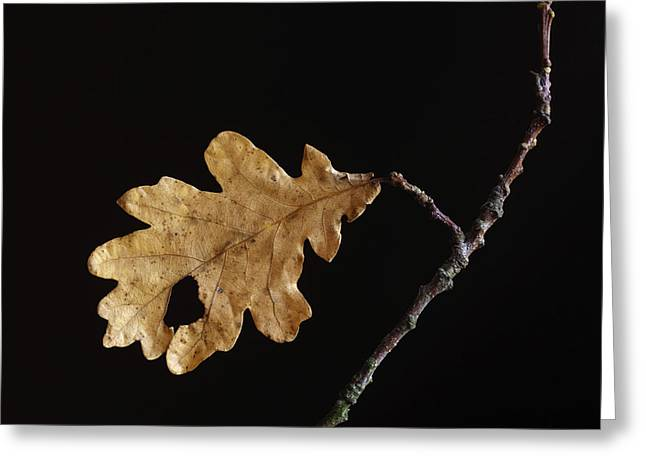 Fallen Leaves Greeting Cards - Oak leaf Greeting Card by Bernard Jaubert