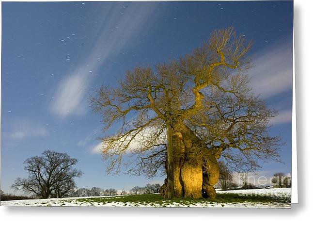 Snowy Night Greeting Cards - Oak Quercus Robur Greeting Card by Bob Gibbons