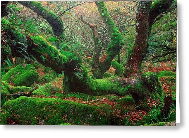 Woodland Scenes Greeting Cards - Oak Trees In A Forest, Wistmans Wood Greeting Card by Panoramic Images
