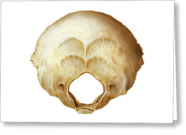 Occipital Bone Greeting Card by Asklepios Medical Atlas