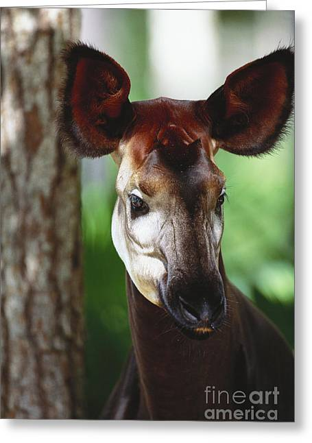 Hooved Mammal Greeting Cards - Okapi Greeting Card by Art Wolfe