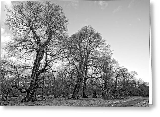 Knobbly Greeting Cards - Old Trees Greeting Card by Roy Pedersen