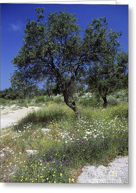 (olea Europaea) Greeting Cards - Olive Tree Olea Europaea Greeting Card by Martyn F. Chillmaid