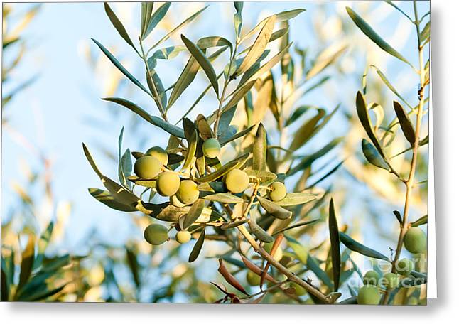 Cultivation Greeting Cards - Olives On Its Tree Branch  Greeting Card by Leyla Ismet