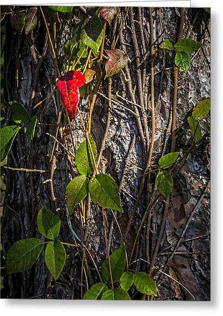 Tree Bark Greeting Cards - One Red Leaf Greeting Card by Marvin Spates
