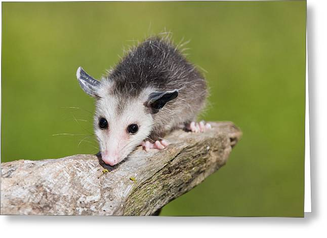 Nature Center Greeting Cards - Opossum Michigan Greeting Card by Steve Gettle