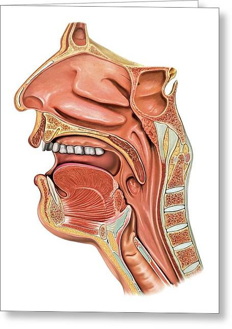 Oral Cavity And Pharynx Greeting Card by Asklepios Medical Atlas