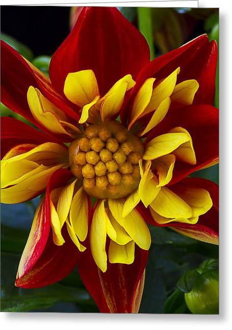 Seasonal Bloom Greeting Cards - Orange Dahlia Greeting Card by Garry Gay