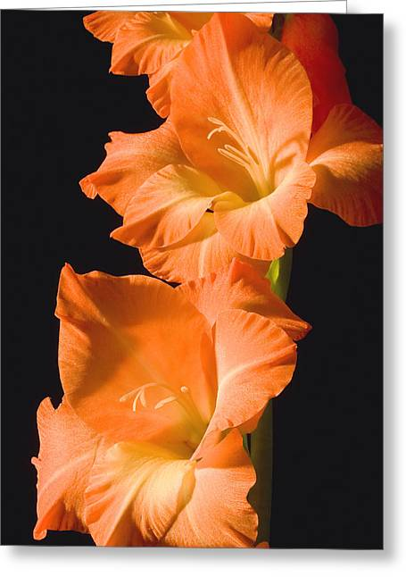 Pistils Greeting Cards - Orange Gladiolus Flower Greeting Card by Keith Webber Jr